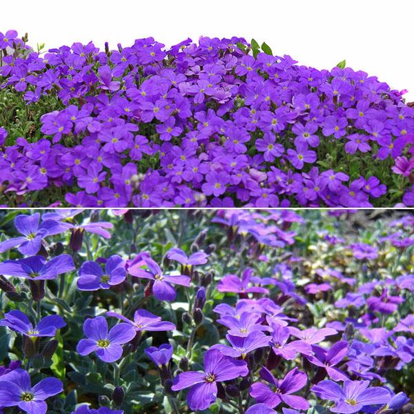 100pcs purple flower aubrieta hybrida for Purple flower ground cover perennial
